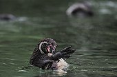 Humboldt penguin making his toilet on the surface of the water