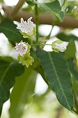 White bladderflower in bloom in a garden