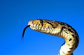 Great basin Gopher Snake North of Joshua tree NP USA