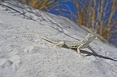 Bleached earless Lizard on sand White Sands NM New-Mexico