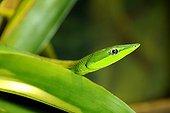 Portrait of Green Vine Snake Vivarium Quito Ecuador