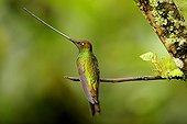Sword-billed Hummingbird male on a branch Ecuador