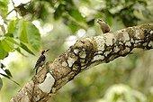 Black-cheeked Woodpeckers on a branch Ecuador