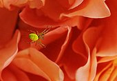 Spider in a web on backgoung of flower petals
