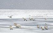 Whooper Swans on the ice in winter Hokkaido Japan