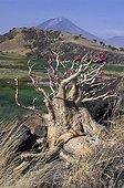Deset Rose in bloom Lengai Mount in Tanzania