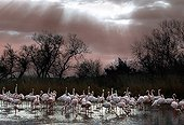 Colony of Flamingos in the Camargue