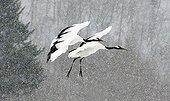 Red crowned cranes flying in the snow Hokkaido Japan