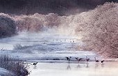 Red crowned cranes in frozen landscape Hokkaido Japan