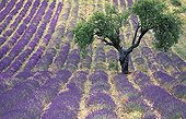 Tree in a field of lavender in bloom in Provence