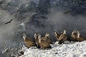 Vultures on a snowy cliff