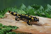 Speckled Salamander lying in wait