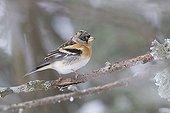 Brambling sitting on a branch in winterFrance