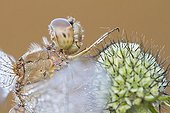 Portrait of a Vagrant Darter in the morning dew France