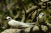 Couple of White Tern on a branch Rodrigues