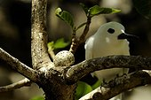 White Tern and its egg on a branch Rodrigues
