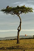 Vultures on tree and balloon at dawn Masai Mara Kenya
