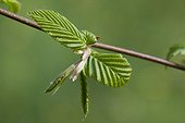 Young leaves of an european hornbeam in springtime