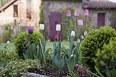Common box topiaries and tulips in bloom in a garden