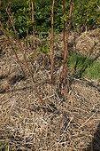 Straw mulching on raspberry in an organic kitchen garden