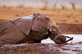 Eléphant d'Afrique prenant un bain de boue Tsavo Est Kenya