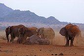 Eléphants d'Afrique prenant un bain de poussière Tsavo Est