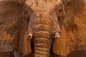 African elephant covered in mud and dust Tsavo East Kenya