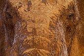 Eléphant d'Afrique couvert de boue et de poussière Tsavo Est