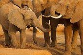 Eléphants d'Afrique au point d'eau Tsavo Est Kenya