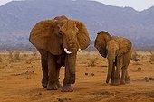 Eléphants d'Afrique s'approchant d'un point d'eau Tsavo Est