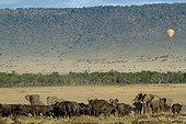 African Elephants charging Buffaloes Masai Mara Kenya