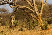 Masai giraffe under a tree in the savannah Tsavo East Kenya