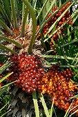 European fan palm in fruit in a garden