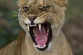 Portrait of Lioness aggressive in the savannah Masai Mara Kenya