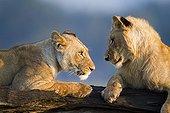 Young Lions playing in the savannah Masai Mara Kenya