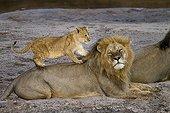 Lion cub playing with a Lion Sand River Masai Mara Kenya