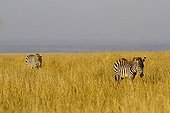 Grant's zebras walking in the savannah Masai Mara Kenya