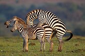 Grant's zebras mating Masai Mara Kenya