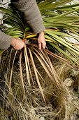 Removing of dead leaves of a cordyline in a garden