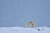 Polar bears in snowfall in Alaska
