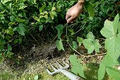 Digging out raspberry shoots in a kitchen garden