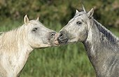 Moment of tenderness between two Camargue horses