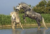 Camargue stallion rearing up against an other horse Camargue