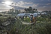 Herd of Camargue horses at daybreak in the Camargue