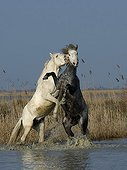 Camargue stallions fighting in a swamp in the Camargue