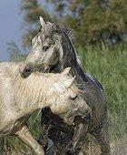 Camargue stallions biting themselves Camargue