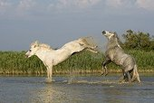 Camargue stallion kicking after a fellow in the Camargue