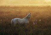 Camargue Mare and foal at sunrise in the Camargue