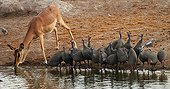Black-faced impala female and helmeted Guineafowl drinking