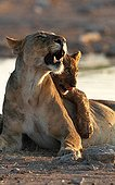 Moment of tenderness between a lioness and her cub Namibia